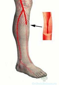артерии ног