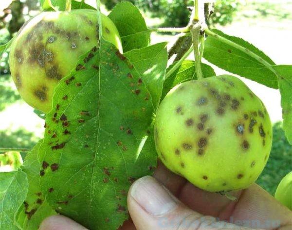 плесень на яблони